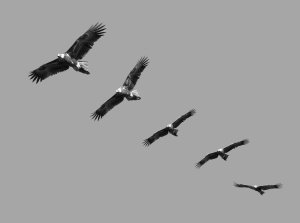 Montage of wedge tailed eagles in full flight on blue sky with copy space