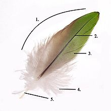 220px-parts_of_feather_modified