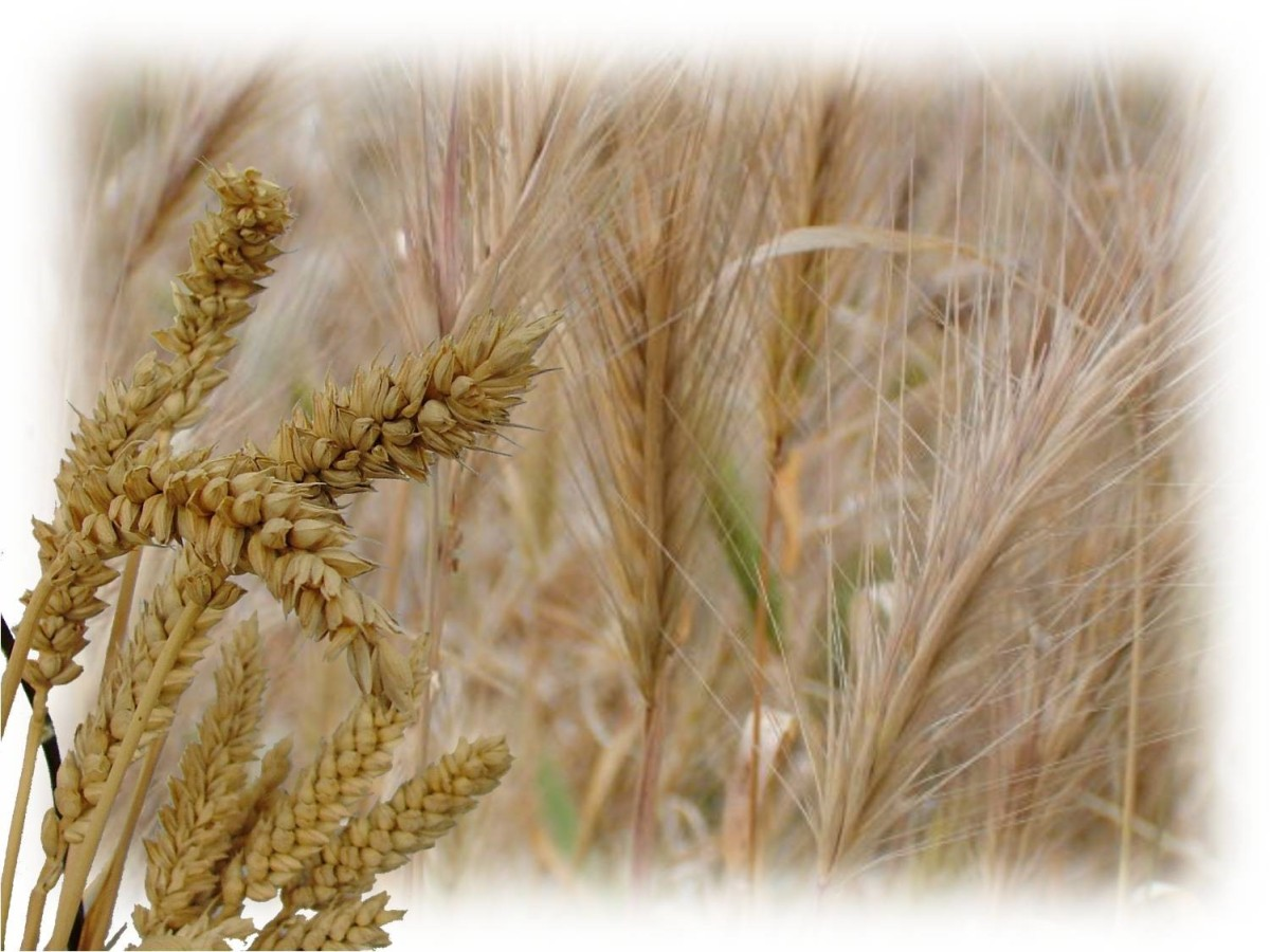 Wheat and weeds in God's garden